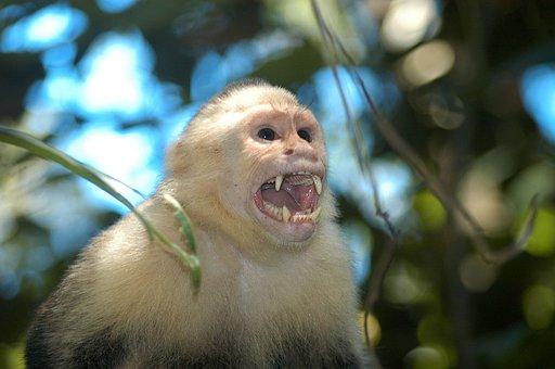 Nature, Monkey, Wild, Screaming
