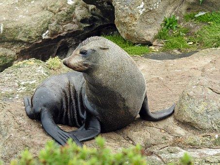 Sea Lion, Young Seerobbe, Sea, Seal, Marine Mammals