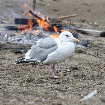 Animal, Beach, Sea Gull, Seagull, Seabird, Wild Animal