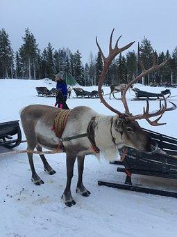 Lapland, Reindeer, Snow