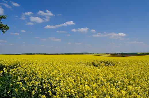 Field Of Rapeseeds, Spring, Summer, Rape Blossom
