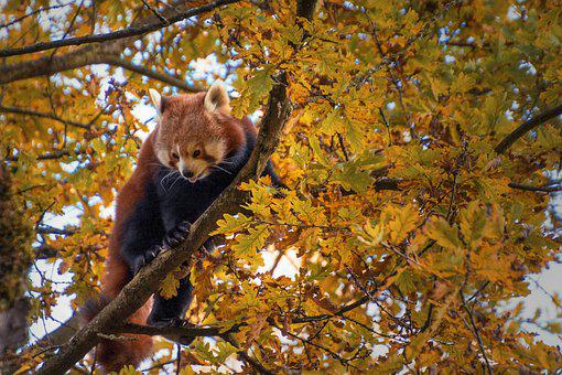 Red Panda, Tree, Climbing, Climbs, Animal World, Mammal