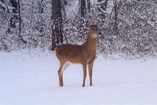 Deer, Snow, Woods, Winter, White, Tree, Season, Forest