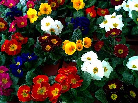Primrose, Cowslip, Color, Auricula, Market