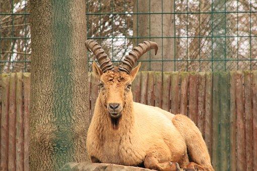 Caucasian Ibex, Capricorn, Caucasus, Horned, Horns