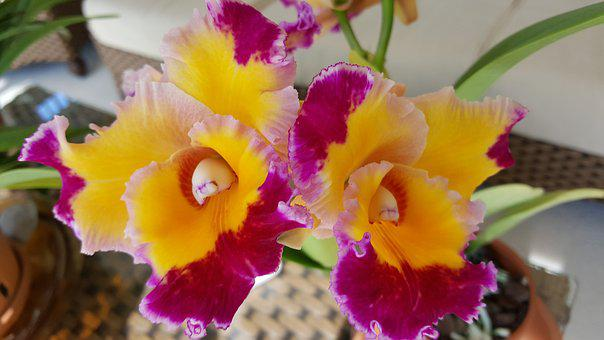 Orchid, Dick Smith, Cattelya
