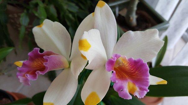 Orchid, Cattelya, Pacific Rainbow