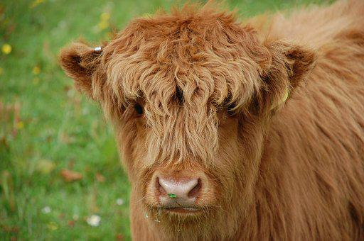 Cow, Calf, Highland, Scotland, Baby, Cattle, Domestic