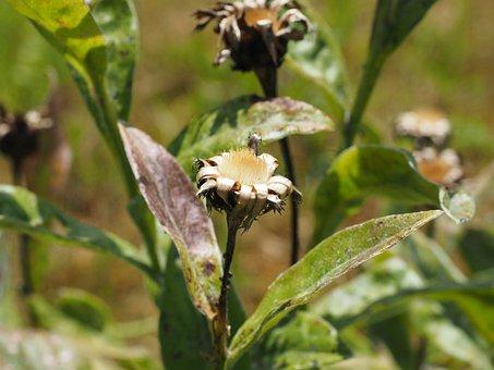 Seeds Was, Flower, Dry, Trockenblume, Silvery, Silver