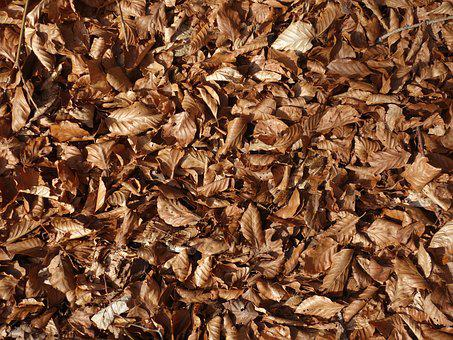 Beech Leaves, Leaves, Dry, Forest Floor, Forest