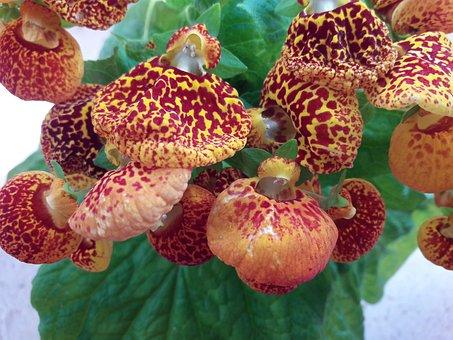 Kalceolaria, Calceolaria, Flower, Gardening, House