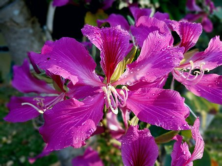 Bauhinia, Flower, Shocking Pink, Orchid Tree, Colorful