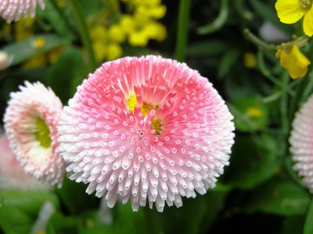 Pink Flower, Double Flower, Full Bloom, Pink, Close