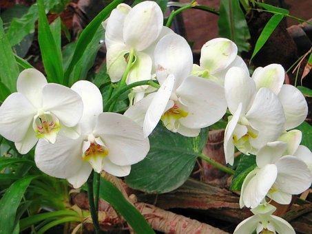 Orchid, White Flower, Cymbidium, Flowering, Plant