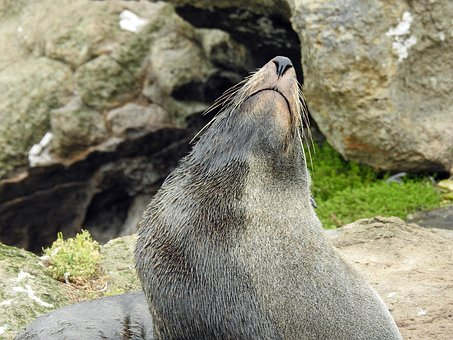 Sea Lion, Seerobbe, New Zealand, Mammal, Meeresbewohner
