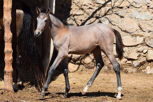 Foal, Horse, Andalusian, Spanish, Purebred, Filly