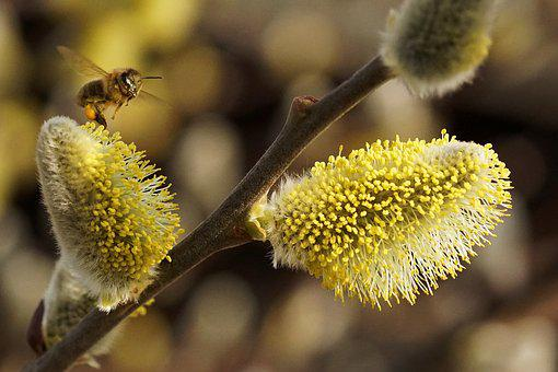 Spring, Willow Catkin, Signs Of Spring, Nature