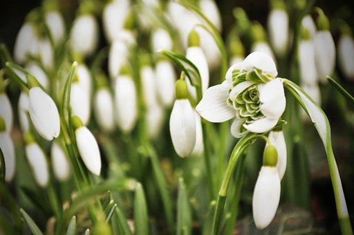 Snowdrop, Snowdrops, Spring, White, Flowers, Nature