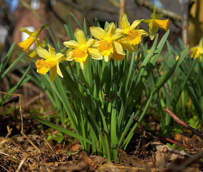 Flowers, Daffodils, Yellow, Spring, Osterglocken