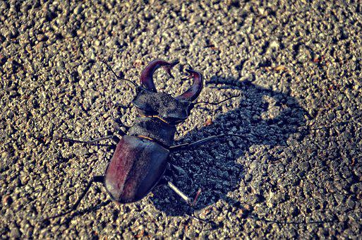 Stagbeetle, Beetle, Insect, Nature, Stag-beetle, Black