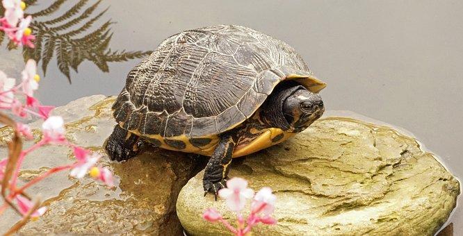 Turtle, Stone, Panzer, Water Turtle, Pond