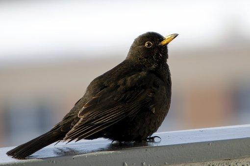 Birds, Thrush, Nature, Bird, Fauna