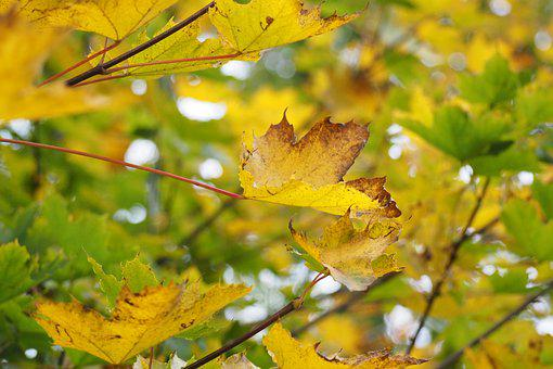 Tree, Yellow, Nature, Leaves, Foliage, Forest, Autumn