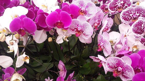 Flower, Spring, Orchid, Vietnam