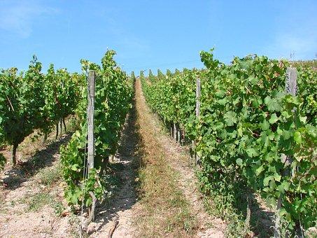 Vines, Vineyard, Wine, Agriculture, Grape, Harvest