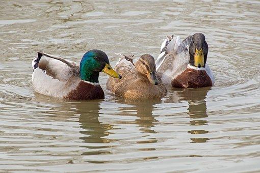 Duck, Mallard, Three, Water, Pond