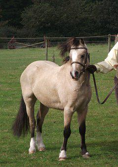 Pony, Horse, Equine, Equestrian, Welsh Pony, Ponies