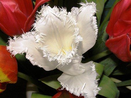 Tulip, Close, White Blossom, Nature, Fransen, Garden