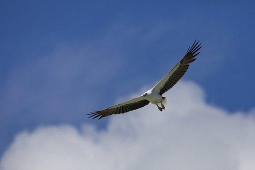 Bird, White-bellied Sea Eagle, Flight, Indonesia