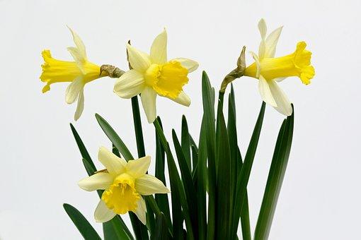 Daffodils, Flowers, Yellow, Spring, Daffodil