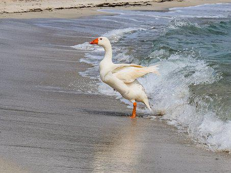 Goose, Swimming, Sea, Bird, Animal, Nature, Beach