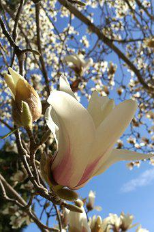 Spring Ten, Magnolia Fragrance, Bloom
