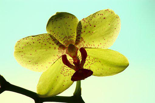 Yellow Orchid, Bright Rear Space, Orchid, Flower, Art