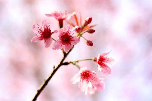 Cherry Blossom, Flowers, Winter, Chiangmai, Thailand