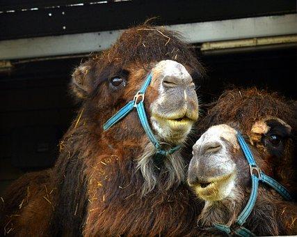 Camel, Desert Ship, Animal, Mammal, Dromedary
