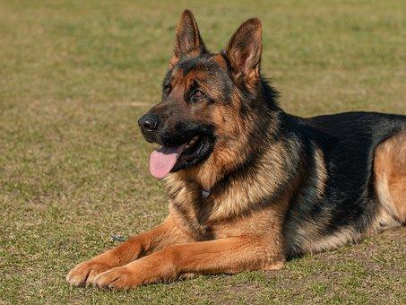 Dog, Animal, Pets, German Shepherd, Eb, Is Watching
