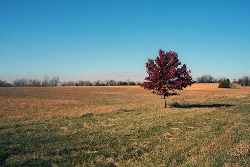 Tree, Autumn, Fall, Nature, Red, Yellow, Field