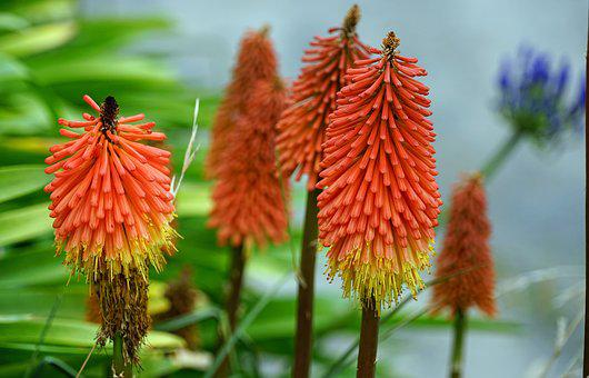 Torch Lily, Red Hot Poker, Red, Flowers, Bright