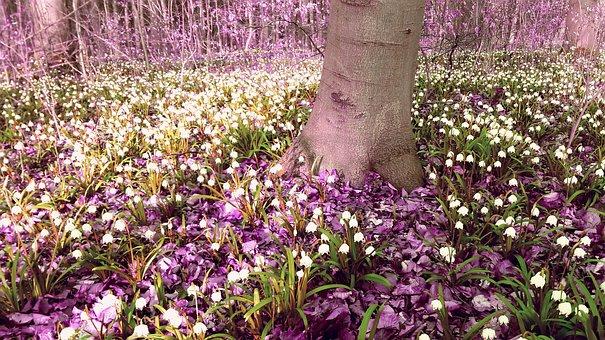 Forest, Snowflake, March Cup Bloom, Frühlingsblüher