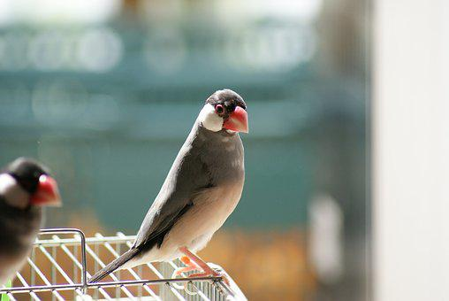 Java Sparrow, Sakura Java Sparrow