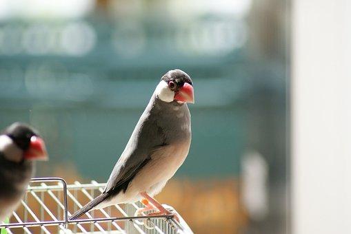 Java Sparrow, Sakura Java Sparrow