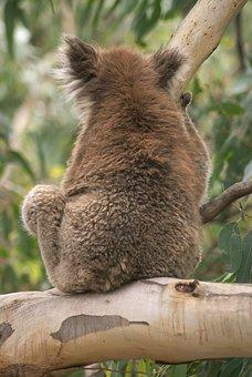 Koala, Koala Bear, Australia, Animal, Wildlife, Mammal