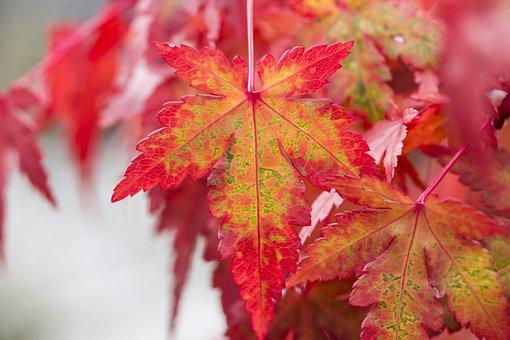 Foliage, Maple Leaf, Japan Maple, Autumn Leaf, Nature