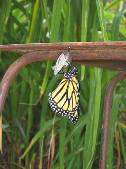 Butterfly, Birth, Cocoon, Summer, Pupae, Monarch