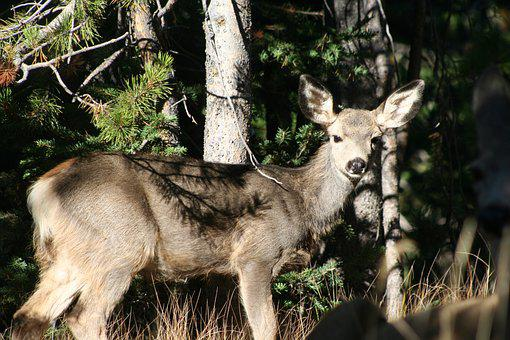 Fawn, Animal, Mammal, Deer, Wildlife, Nature, Young