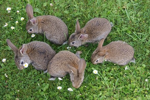 Rabbits, Grass, Fur, Rabbits Eating Grass